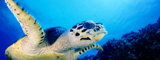 Sea Turtle, Apo Reef