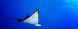 Eagle Ray, Palau